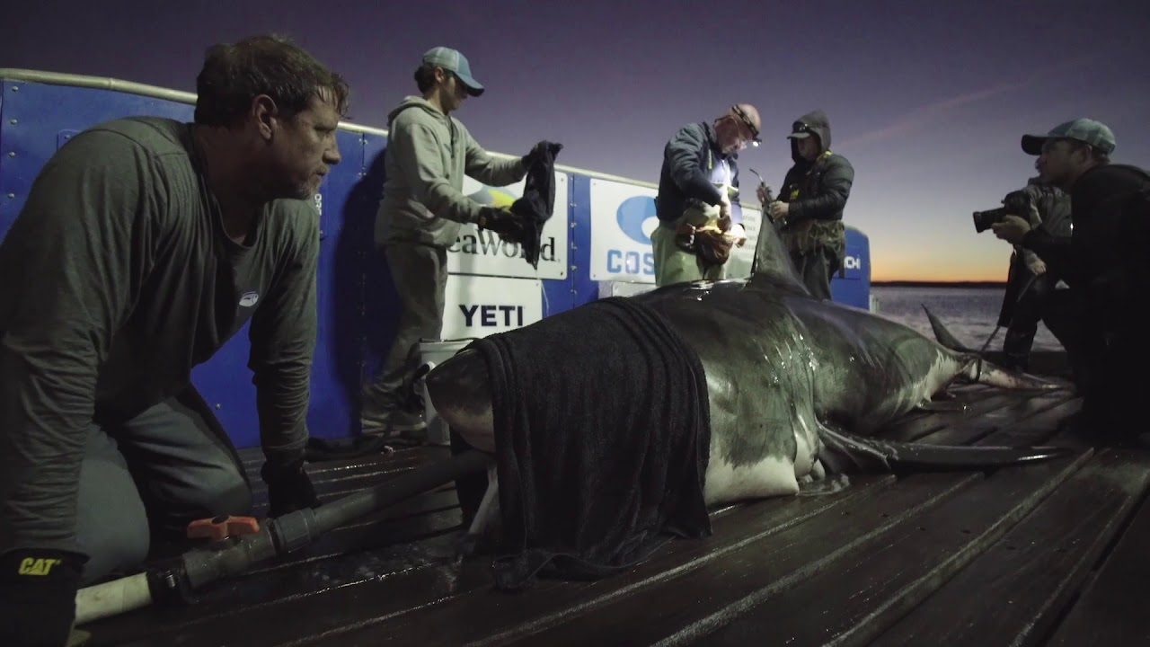 15-Foot, 2,100-Pound Great White Shark Is Traveling Up the Carolinas