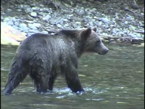 grizzly-bear-viewing-british-columbia
