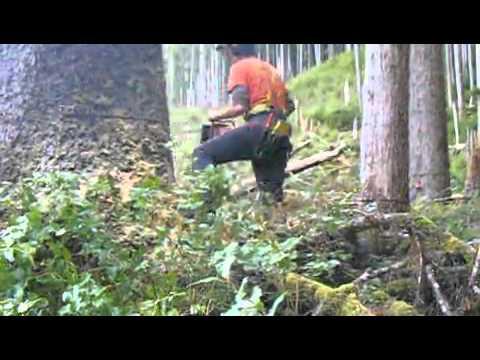 Big Sitka Spruce