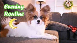 Percy's Evening Routine // Percy the Papillon Dog Vlog