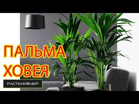 Как ухаживать за пальмой Ховея в домашних условиях?