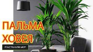 Как ухаживать за пальмой Ховея в домашних условиях?(Пальмовые, или Пальмы, или Арековые (лат. Arecaceae, Palmae, Palmaceae) — семейство однодольных растений. Представлено..., 2014-10-23T16:07:39.000Z)