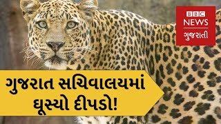 ગુજરાત સચિવાલયમાં ઘૂસ્યો દીપડો (બીબીસી ન્યૂઝ ગુજરાતી)
