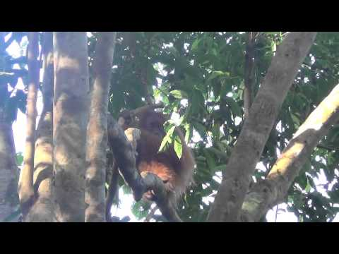 Sumatran Orangutans in the wild