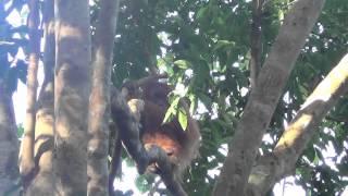Sumatran Orangutans in the wild