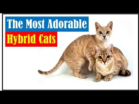 The Most Adorable Hybrid Cats