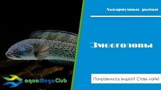 Аквариумные змееголовы: виды, содержание, кормление, разведение.