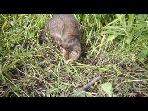 Кот ест жуков. Cat eating beetles