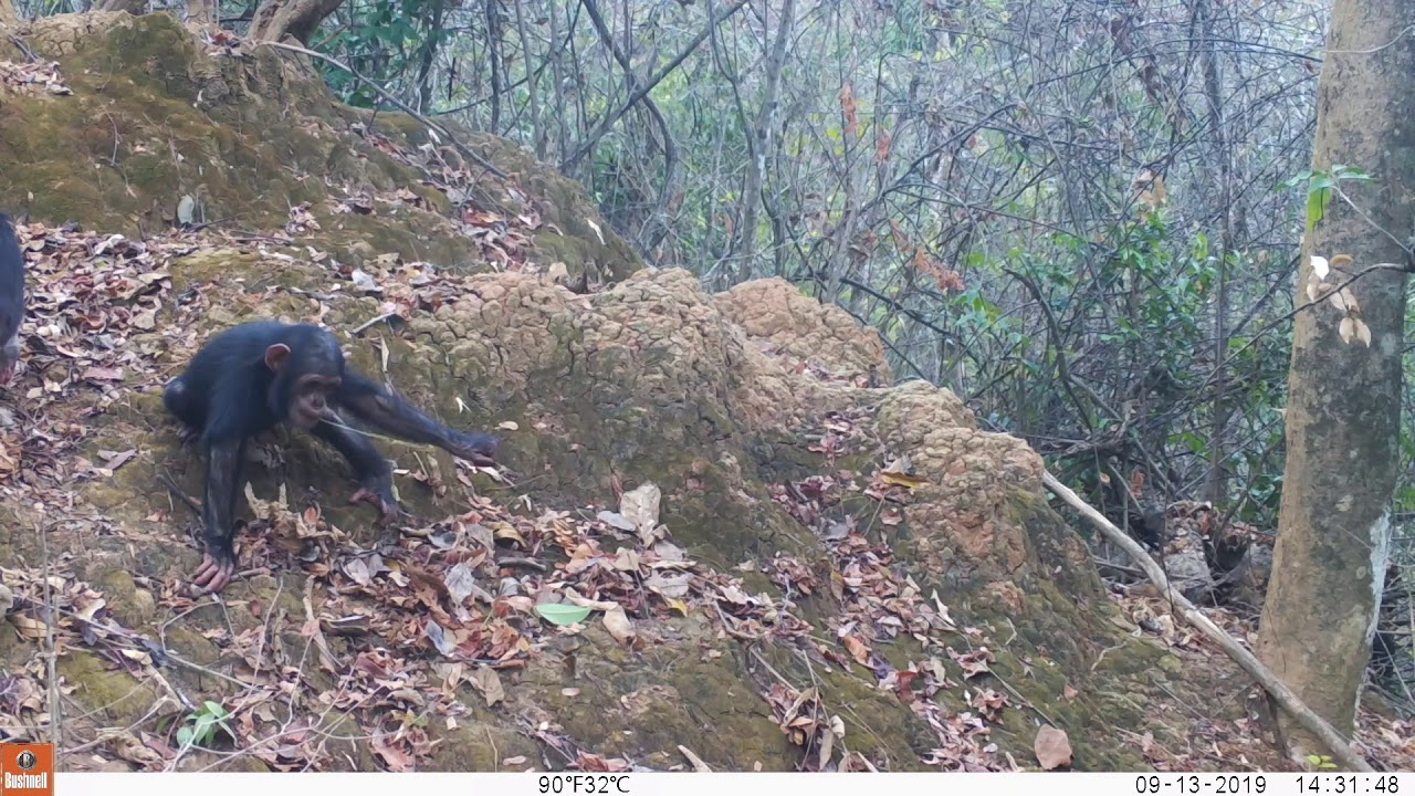 6 easy steps in chimpanzee transfers at Issa! (@ GMERC_TZ)