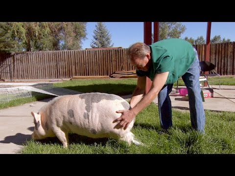 Chloe The Pig Is Just A Bit Bigger Than A Teacup