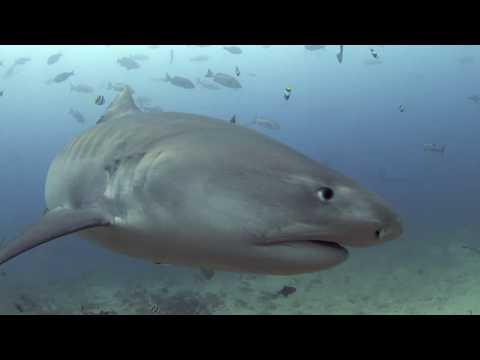 Tiger Sharks of Beqa Lagoon - Aquaventure Dive & Photo Center