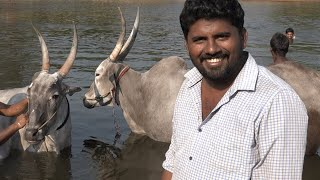 Beerjepalli Raghu Talking about Jallikattu bulls running and swimming