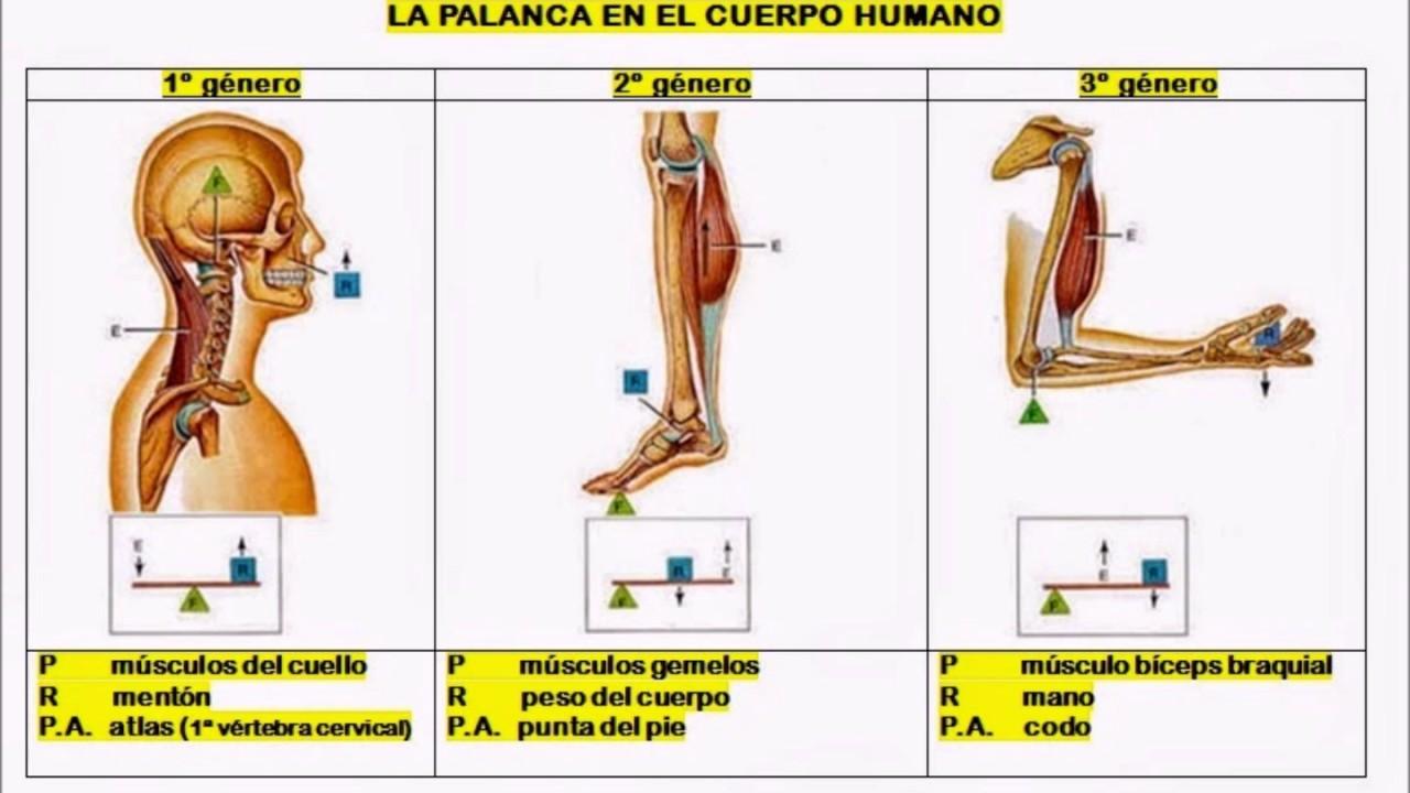 Palancas del cuerpo humano - YouTube