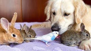 Funny Golden Retriever Loves His Cute Animal Friends
