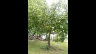 Letný rez jabloní part 1.