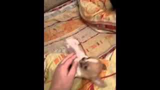 Супер мини щенок чихуахуа