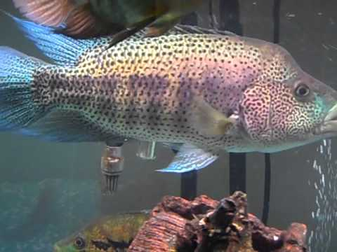 16in Wild Caught Wolf Cichlid Dovii And Tank Mates Youtube