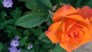 Três Truques Simples para Fazer sua Roseira dar mais Flores