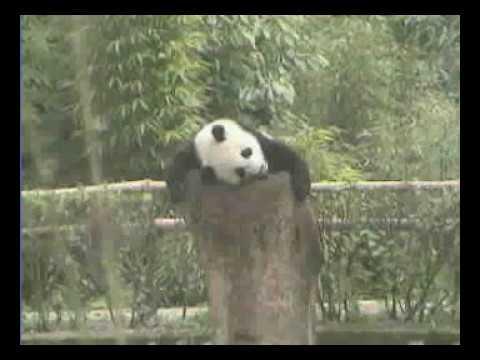 Wolong Nature reserve Panda