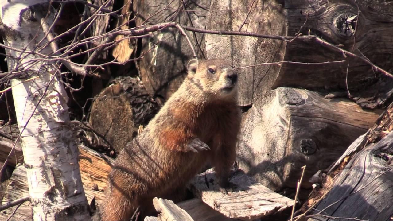 Uncategorized Woodchuck Video woodchuck video youtube video