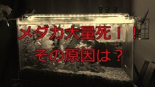 【メダカ水槽の危機】大量死の原因は? 白メダカ系は弱い?