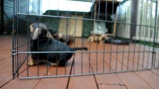 7 Week Old Miniature Wire-haired Dachshund Puppy Playtime.avi