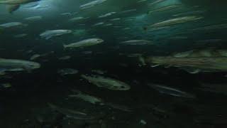 Зубарь Сахалин(Подводная съемка м. Свободный 11.02.2015., 2015-02-12T15:54:35.000Z)
