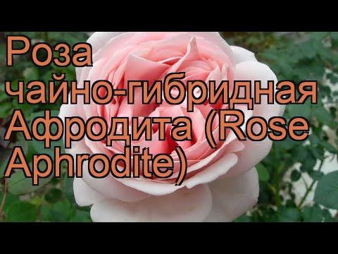 Вопрос: Как выглядит чайно-гибридная роза Чайковский shy?