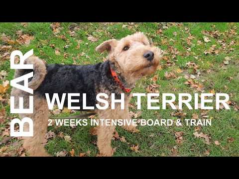 Bear - Welsh Terrier - 2 Weeks Intensive Board and Train Course