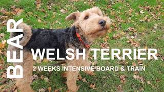 Bear  Welsh Terrier  2 Weeks Intensive Board and Train Course