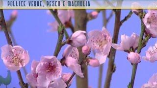 Pollice verde: pesco e magnolia, i fiori della primavera