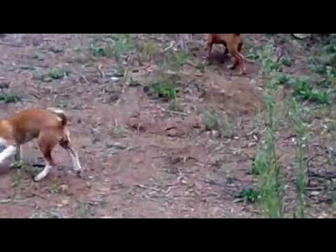 Treino de podengos (cachorros)