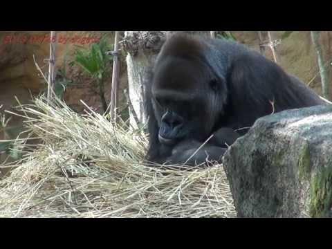 Japan Trip 2013 Tokyo Western lowland Gorilla Momoko Baby was born! In Ueno Zoo.13