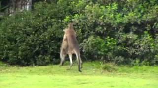 Kangaroo Chokes Kangaroo whilst going the distance.wmv thumbnail