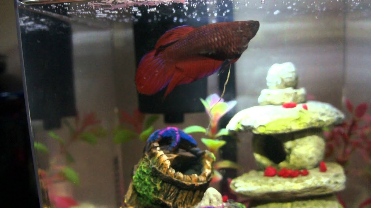 Betta Fish Getting Rid Of Constipation Youtube