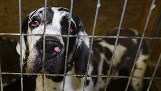 breaking news more than 80 great danes rescued from cruelty