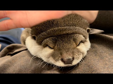 ??????? ?????????????????????? otter that sleeps instantly on the owner's belly