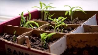 Jalapeno plants Timelapse