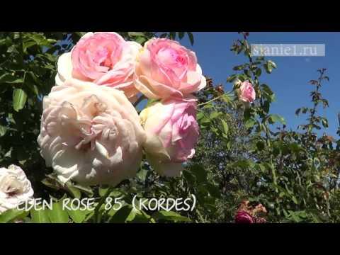 Розы Кордес и Остин. Европейские розы в суровом климате.