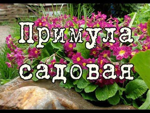 ПРИМУЛА садовая или ПЕРВОЦВЕТ – украшение весеннего сада. Выращивание, посадка, уход