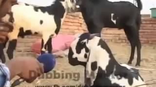 Video Animals Funny Punjabi Totay   Video download MP3, 3GP, MP4, WEBM, AVI, FLV Agustus 2018
