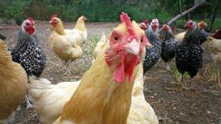 Как загипнотизировать курицу.Всё тут!!!
