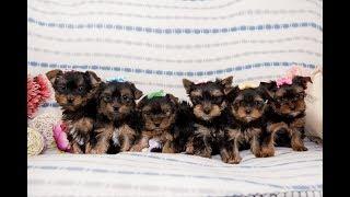 Подарок ребенку / щенок йорка / Питомник /купить йорка / купить щенка йоркширского терьера