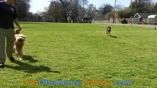 Gus Off Leash Training Dog Obedience College Memphis