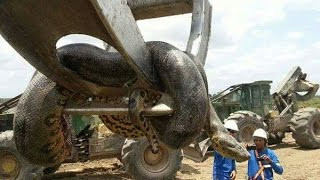 10 größte Schlange der Welt