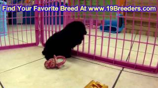Toy Poodle, Puppies For Sale, In, Kent, Washington, WA, Bainbridge Island, Mercer Island, Maple Vall
