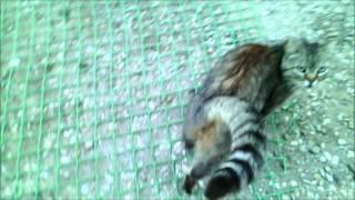 Старая дева или моя кошка впервые увидела  кота аж в ....6 лет!!!
