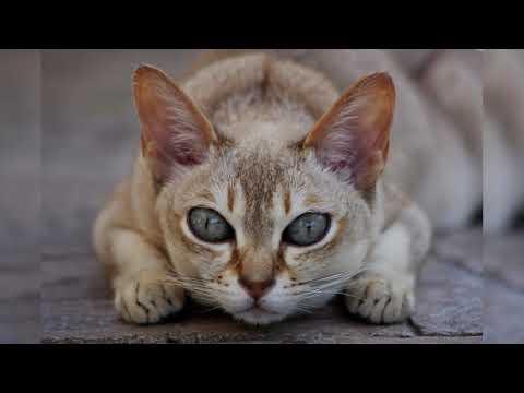 Сингапурская кошка. Плюсы и минусы, Цена, Как выбрать, Факты, Уход, История
