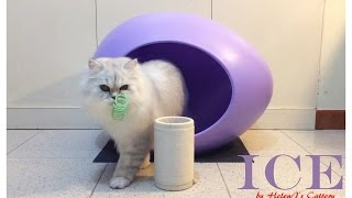 Chinchilla Cat 金吉拉貓 ~ Ice