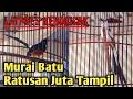 Murai Batu Juara  Tiket Vip Latpres Kebokicak Bc Murai Batu Harga Ratusan Juta Tampil  Mp3 - Mp4 Download
